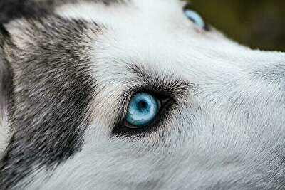 シルバーウルフの目