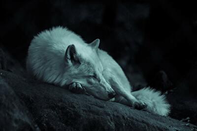 寝ているシルバーウルフ