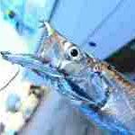 太刀魚サムネイル