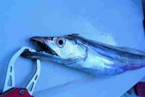 釣れた太刀魚